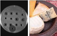 チーズ・乳酸菌研究所